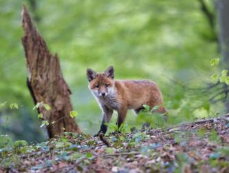 Fuchsräude in Biberach